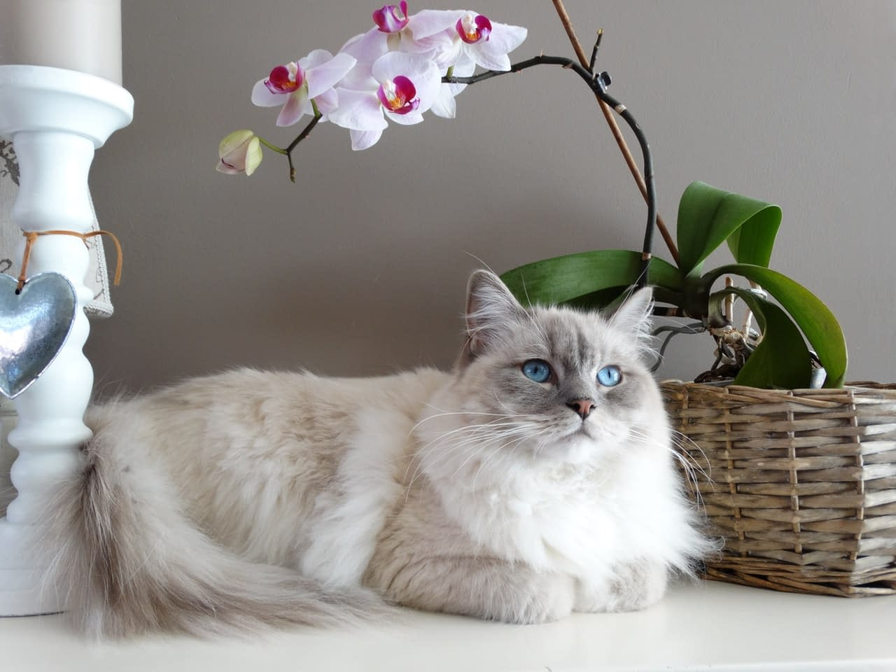 Adorable cat with blue eyes lying near a basket