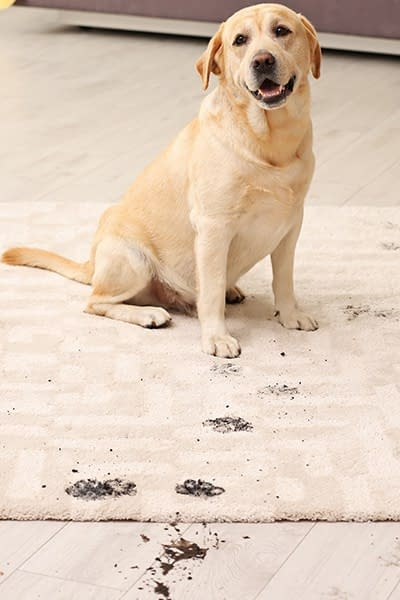 dog stains on carpet