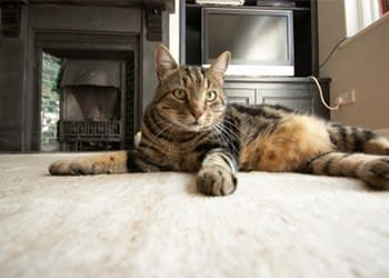 We clean and remove cat odors